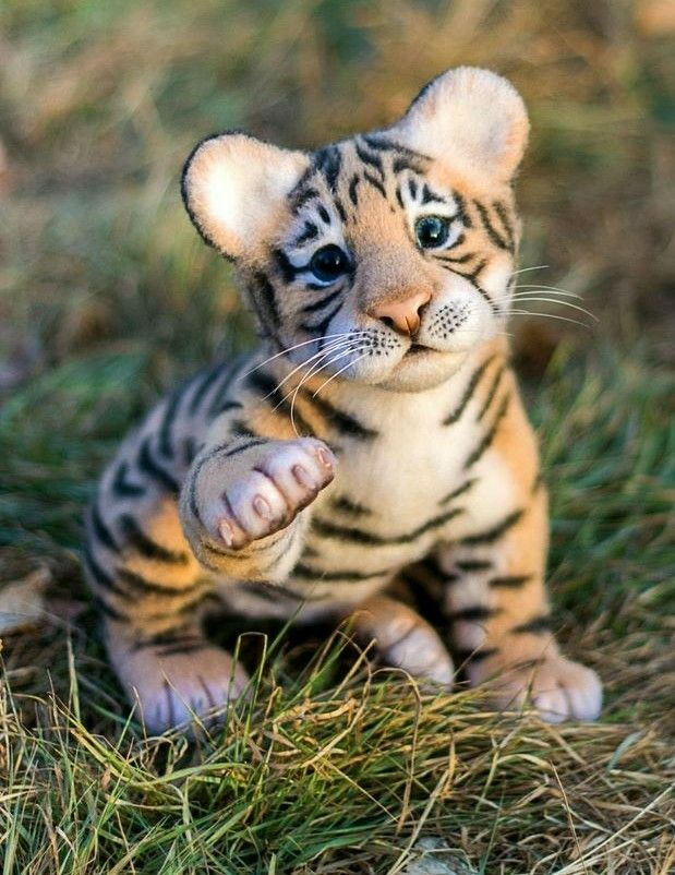 What A Cute Baby Tiger