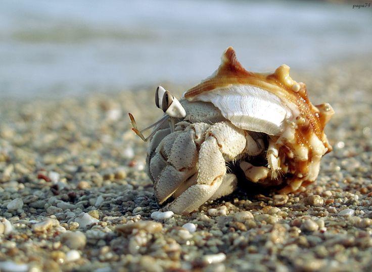 Pale land hermit crab Coenobita scaevola Светлолапый рак-отшельник - Red Sea