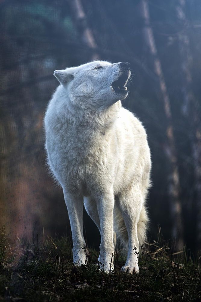 Arctic Wolf by Michael Deneau on 500px In 1998 my brother and I had 2 females that were Pure White.....Their babies were all Loved and fed well.