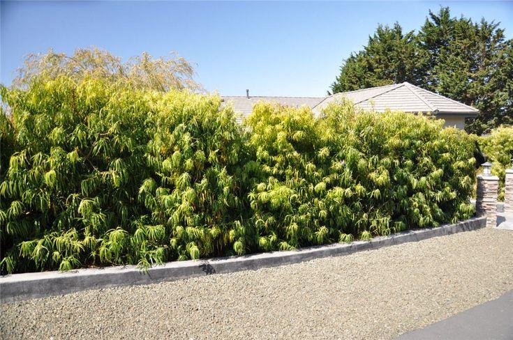 Image result for podocarpus henkelii hedge