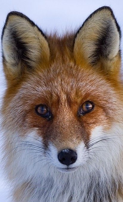 Mark wants us to get foxes once we settle into our life together. I'd be the one to take care of them while he's deployed! ha.