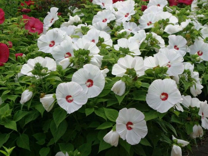 How to Grow and Care for Hibiscus - See more at: http://worldoffloweringplants.com/grow-care-hibiscus