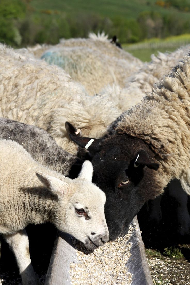 What Do Sheep Eat? Keeping Your Sheep Healthy Will Require a Certain Diet