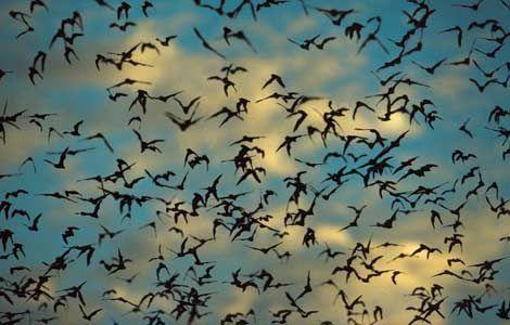 Amazing bats from Congress Street Bridge Austin TexasBats, Austin Texas, Caves, Google Search, The Cities, Batman, Bridges, Insects, Halloween
