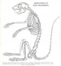 11 best bone stuff images on pinterest animal anatomy skeletons rh pinterest com Squirrel Bones Flying Squirrel Diagram