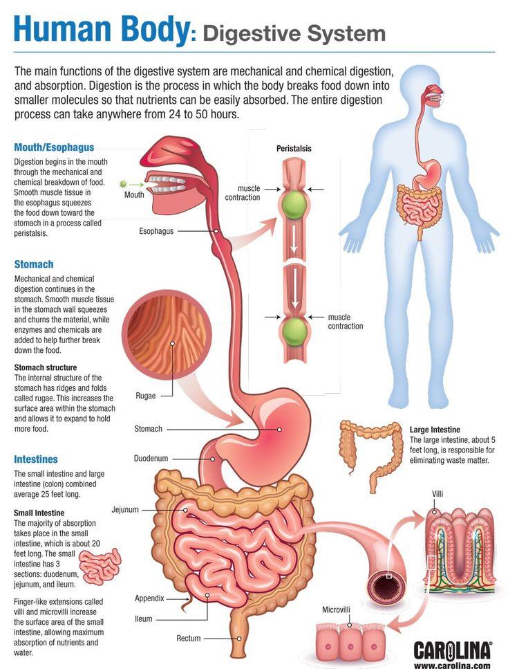 Human Digestive System in 2020 | Human body anatomy, Human ...