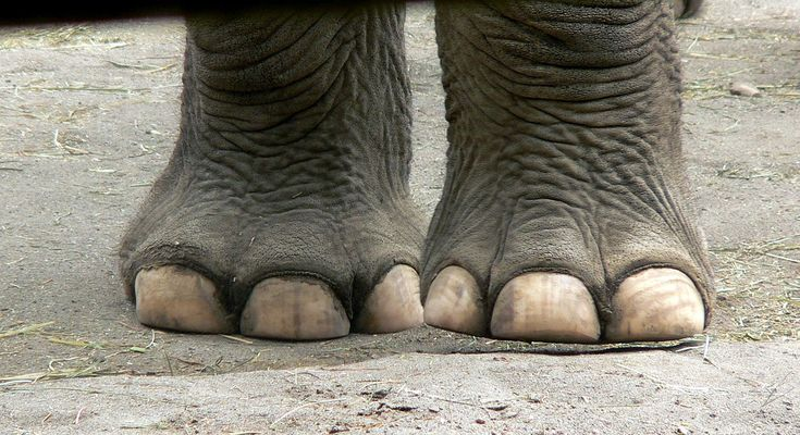 elephant feet images - Google Search