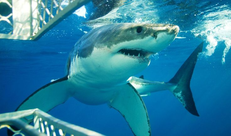 Image result for pictures of great white cage diving australia