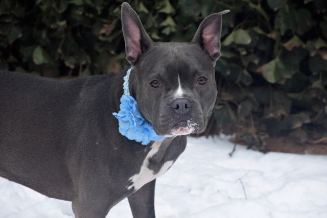 😠🚫😠🚫PETS ARE NOT TEMPORARY NO MATTER YOUR PROBLEMS❎ THEYRE NOT THROW AWAY😠😠😠😠😠RETURNED!! PERS PROBL!! SUPER URGENT Staten Island LUNA – A1092834  *** RETURNED 01/07/17 ***  SPAYED FEMALE, GRAY / WHITE, BOSTON TERRIER / AMERICAN STAFF, 4 yrs RETURN – EVALUATE, HOLD RELEASED Reason PERS PROB Intake condition UNSPECIFIE Intake Date 01/07/2017, From NY 10305, DueOut Date 01/07/2017