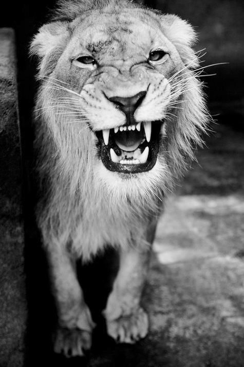 1000+ ideas about Lion Photography on Pinterest | Lion ...