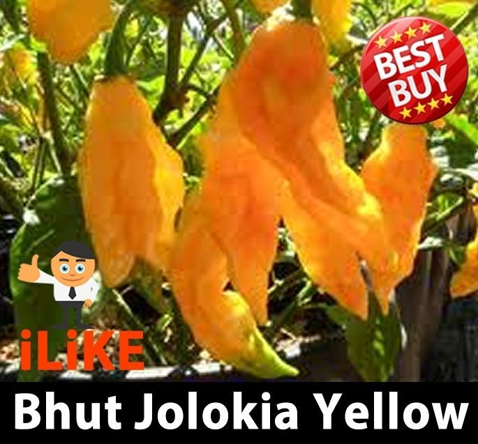 Bhut Jolokia/Ghost Pepper Chilli Yellow 10 Seeds Plus. One Of The Worlds Hottest  | eBay