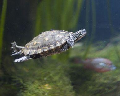 How to Create a Semi-Aquatic Turtle Habitat... pretty sure Ive got ...