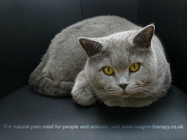#Magnotherapy cat collars for aches and pains - non invasive, drug free, money back guarantee!  www.magno-therapy.co.uk