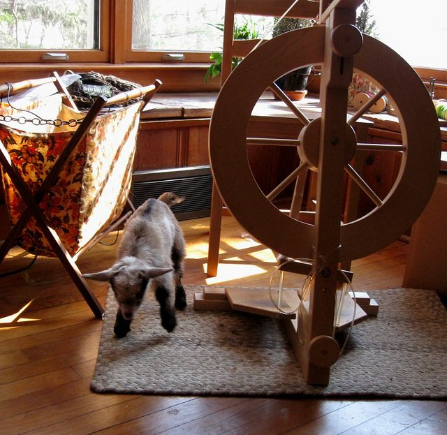 Newborn nigerian dwarf kid, hanging out next to my spinning wheel while I got his sister cleaned up. I've lost track of how many times I've had goats in the house at this point...