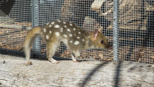 A senior James Cook University academic is helping catch eastern quolls in Tasmania as part of a project to bring the animal back to the mainland after more than 60 years of extinction.
