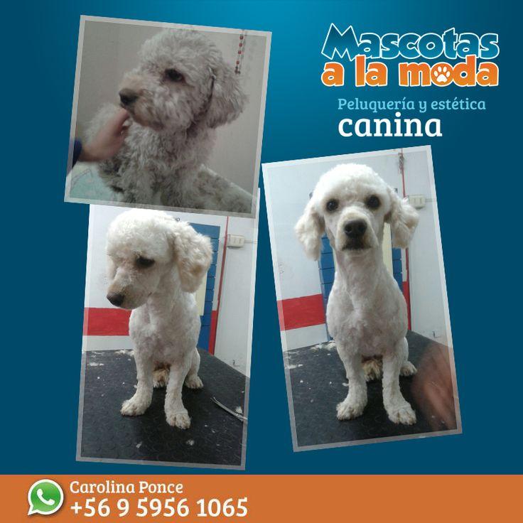 Florencia, una nueva mascota a la moda... y tu, que esperas para traer a tu peludo?? #mascotasalamoda #peluqueriacanina #esteticacanina #peluqueriacaninaChile #doglover