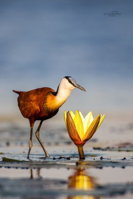 Jacana captured in the Chobe