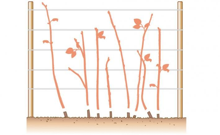 Herbst-Himbeeren schneiden