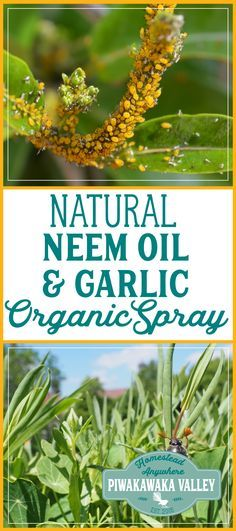 Do you have a problem with whitefly or aphids? Make your own Effective Pesticide Neem Oil and Garlic Organic Spray Recipe. Pin it for later! #organic #permaculture #vegetablegarden