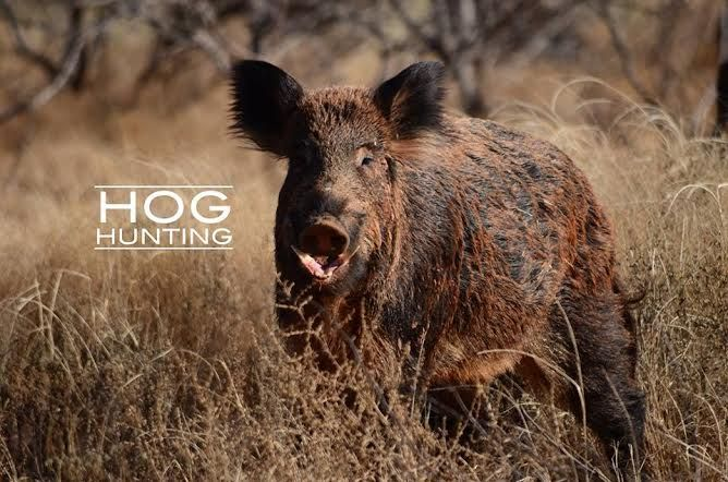 Ridgeback Creek Hog Hunts | Crowell, Tx | Hog Hunting | Texas Hog Hunt
