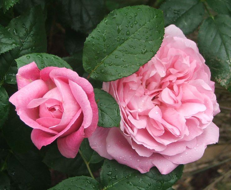 Pink Rose Garden Wallpaper best 25+ pink rose pictures ideas on pinterest | love rose images