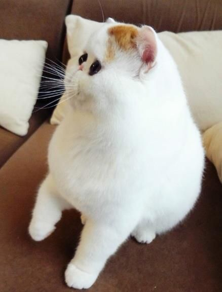 Snoopy exotic shorthair cat
