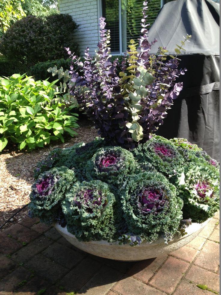 Best 25 Cabbage Plant Ideas On Pinterest Winter Pansies