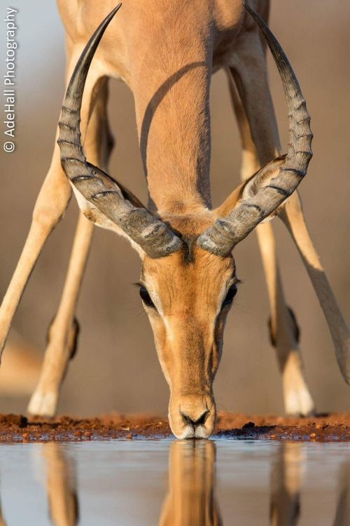 Impala by AdeHall Photography - Ade Hall