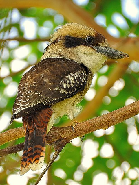 The Laughing Kookaburra (Dacelo novaeguineae) is a carnivorous bird in the kingfisher family Halcyonidae. Native to eastern Australia, it has also been introduced to parts of New Zealand, Tasmania and Western Australia.