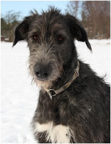 Irish Wolfhound Dogs - Charlie doesn't know it but I plan to rescue one of these guys when I buy a house!
