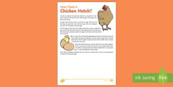 How Does A Chicken Hatch? Explanation Writing Sample - How Does A Chicken Hatch? Explanation  Writing Sample, literacy, explanations, writing, text types,