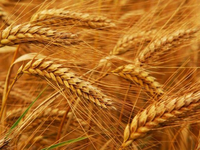 """IL GRANO/LE SPIGHE DI GRANO """"l'ho vista sparire inghiottita dal grano"""" + """"quell'anno il grano era alto"""" + """"crescevano fitte, cariche di spighe"""""""