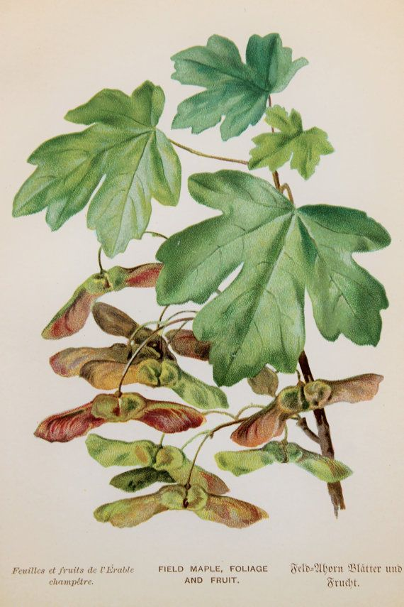 Field Maple Leaves Amp Seeds Helicopters 1891 Original