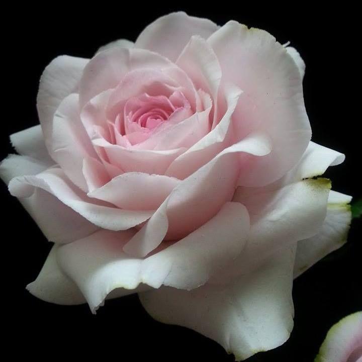 Christine Craig - Sugar Rose