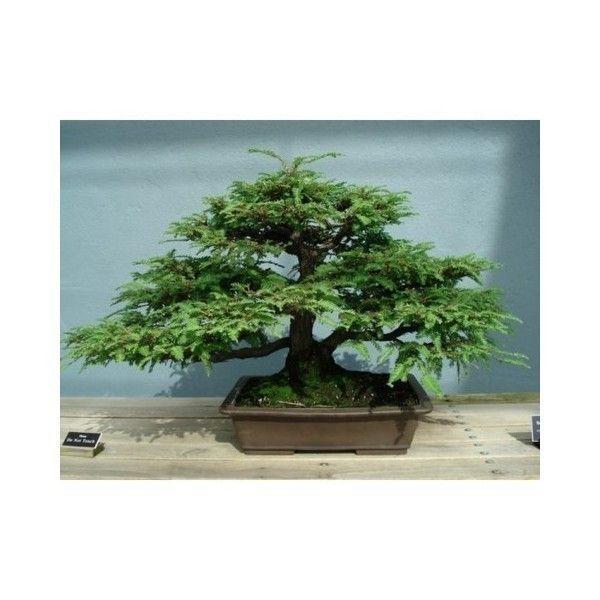 2,35 €  Graines de Séquoia géant Bonsai (Sequoiadendron giganteum) 5 graines par sachet. Le Séquoia géant (Sequoiadendron giganteum) ; (ou séquoïa géant) est une espèce de conifères de la famille des Taxodiaceae (classification classique) ou des Cupressaceae (classification phylogénétique)1. Il est l'unique représentant actuel du genre Sequoiadendron.