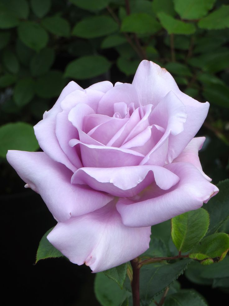 Blue Moon rose - This is the best attempt from the human being to make a real blue rose plant. Is not blue, but lavender, because of anthocinanyns (pigments responsible for pink, red, purple and blue colors in some flowers)