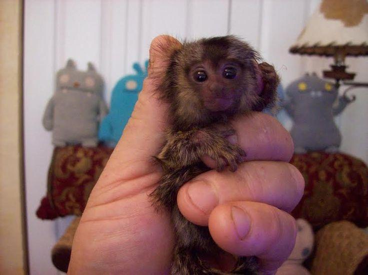 AAAA  Bella scimmie Marmoset maschile e femminile per l'adozione - Bella scimmie Marmoset bambini pronti per le case di tempo di vita. Tutti i bambini sono sulla bottiglia e di indossare pannolini.  - http://www.ilcirotano.it/annunci/ads/aaaa-bella-scimmie-marmoset-maschile-e-femminile-per-ladozione/