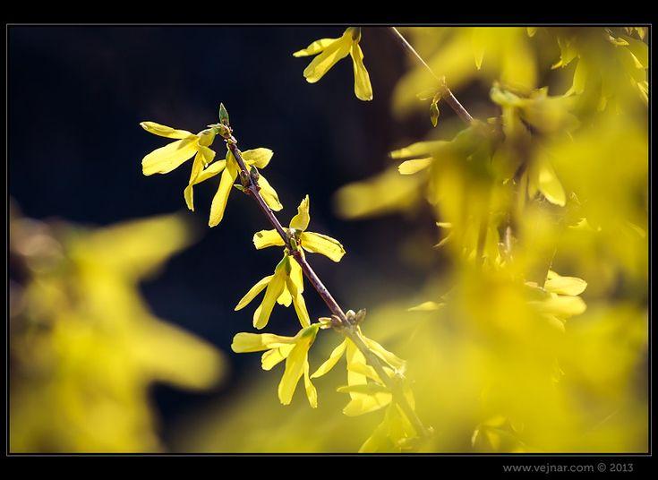 Zlatice - Forsythia