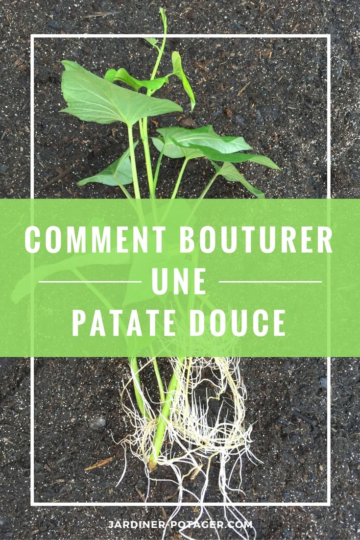 Comment bouturer la patate douce - Technique bouture patate douce