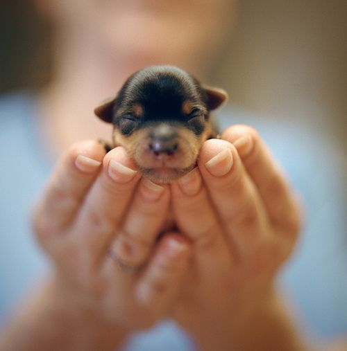 Baby #Rottweiler. It's hard to believe that such a little puppy will soon become gorgeous giant.