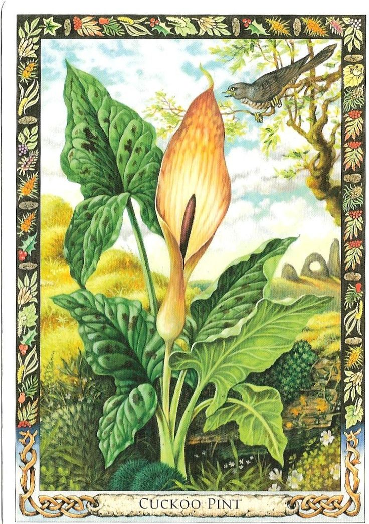 the druid plant oracle cards |   Cuckoo Pint