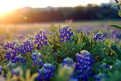 Texas Bluebonnets.  Photo taken in Austin, Tx on 03-25-12.