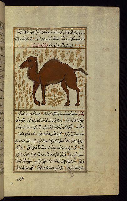 Turkish version of the Wonders of creation, A camel ,Walters Art Museum Illuminated Manuscripts, via Flickr