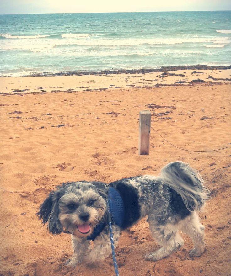 Dusk beach walk xxx #destinationwarrnambool #warrnambooldogs #dogs3280 #loveyourollo #maltiselove #dogwalk #beach #dogbeach #love3280 #puppylove #sendadogphoto #cutepuppy by ovphoto33