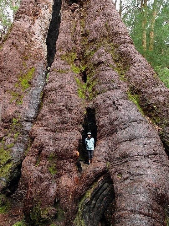 Eucalyptus Jacksonii .the Red Tingle tree south west western Australia