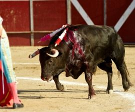 Bullfight Opinion Poll: As Spain Debates 'Support for Bullfighting' Bill, Most Spaniards Oppose