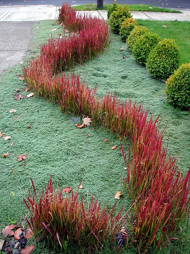 Blood grass river through creeping thyme, ornamental grasses, groundcover, ground cover, landscaping, gardening, landscape architecture