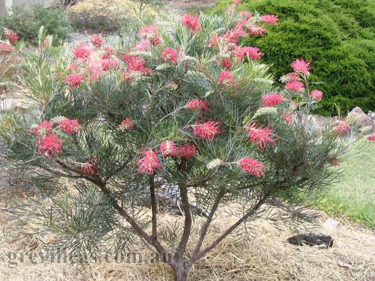 39 Best Grevilleas Images On Pinterest Exotic Flowers