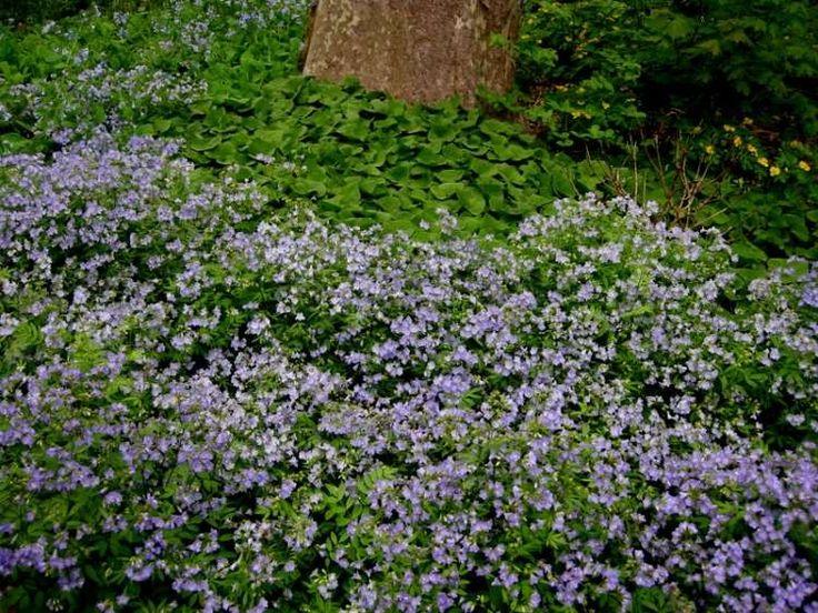 plantes d'ombre Valériane grecque pour le jardin