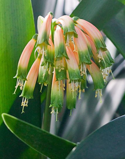HOW TO GROW CLIVIAS, AKA Kaffir Lilies, fire lily, bush lily or the South Africa lily.